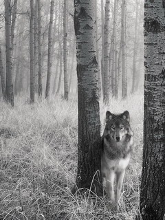 Wolf is the lord of the forest