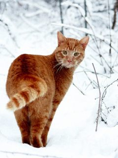 Red cat in the snow