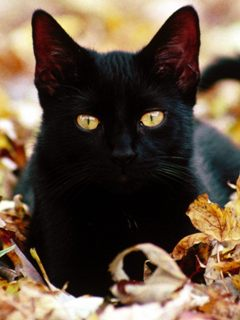 Black cat in autumn leaves