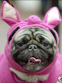 Pug in a rabbit costume