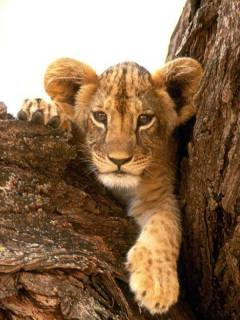 Lion cub on a tree