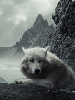 Wolf by the cliffs