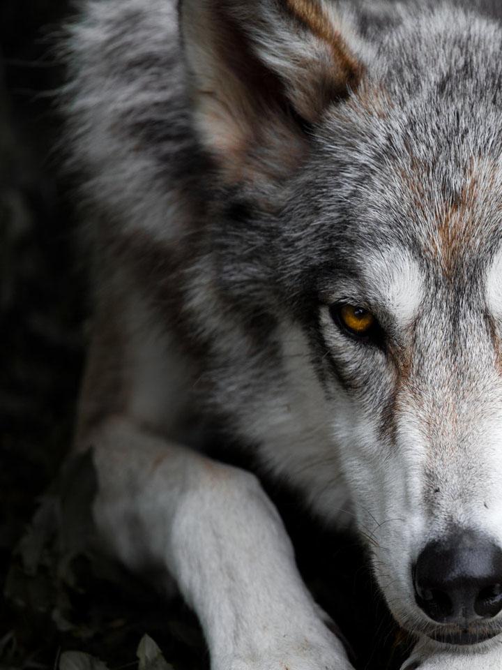 текст, так волк одиночка фотографии красоты спа