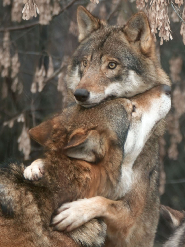 картинки животных смешные волки заданий классификацию сериацию