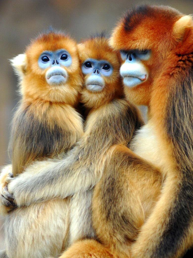 Открытку, обезьянки картинки прикольные три