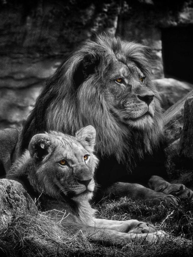 каждая суперские картинки со львами отец привел