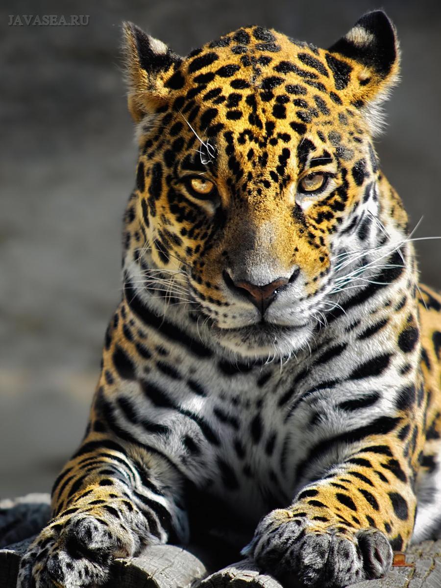 агрессивный леопард