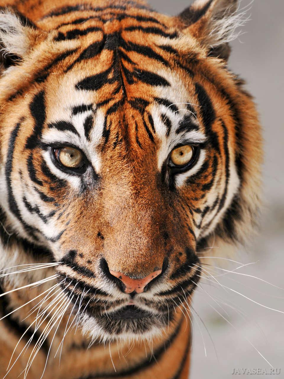 Картинки с тигром на аву, открытки днем