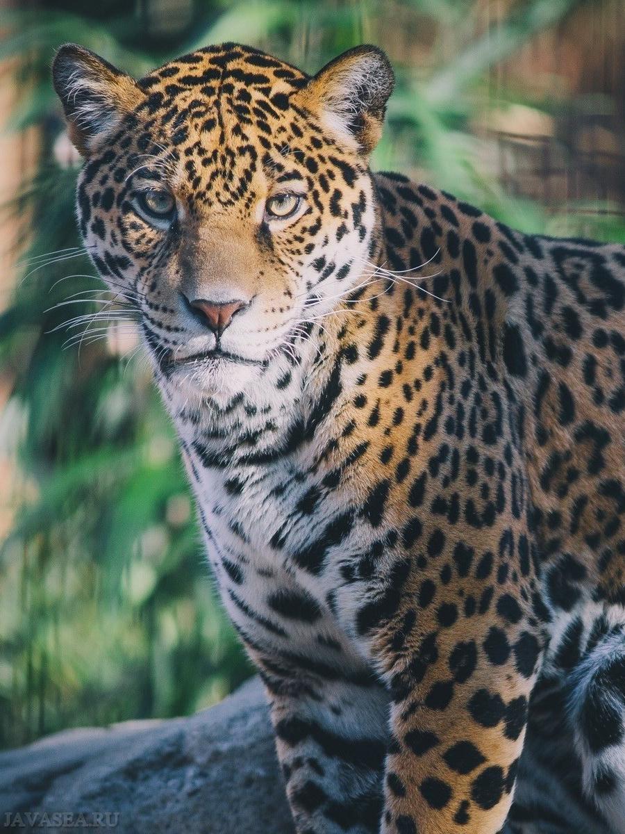 Скачать картинку Безмятежный взгляд леопарда бесплатно  Взгляд Леопарда