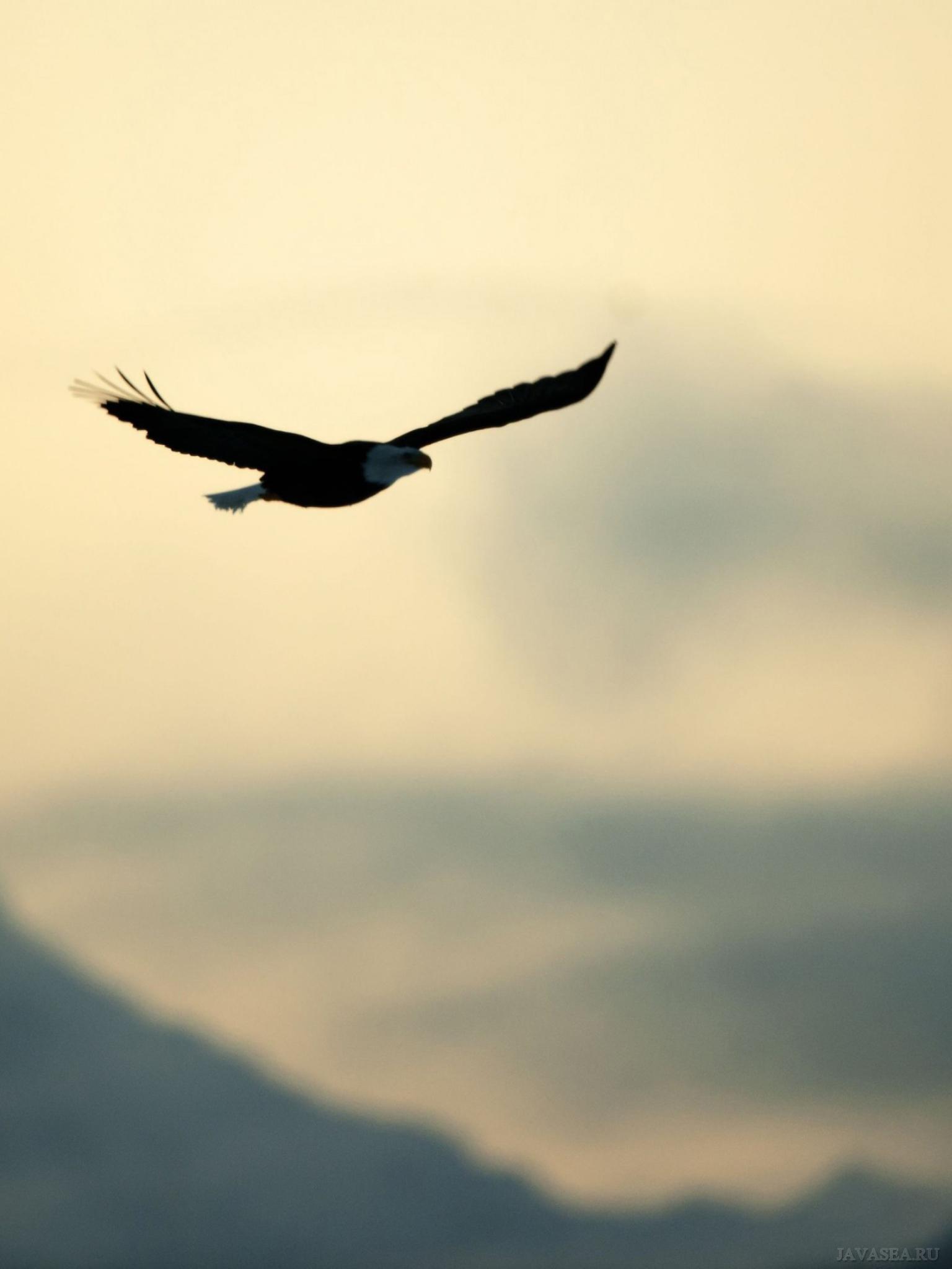 носит сугубо картинки свободного полета орла очистить