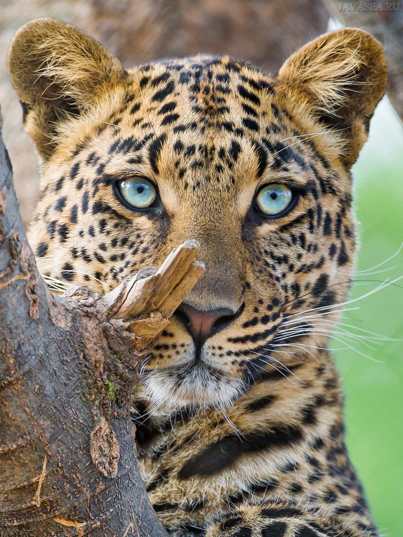 Скачать картинку Заинтересованный взгляд юного леопарда ...  Взгляд Леопарда